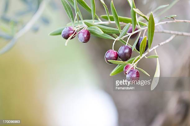 olives - luques olive stock pictures, royalty-free photos & images