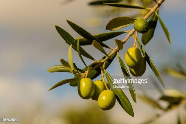 olives - オリーブ ストックフォトと画像