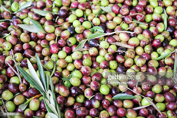olives waiting to be milled - olive orchard stock photos and pictures