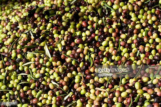 olives waiting to become oil - extra virgin olive oil stock pictures, royalty-free photos & images
