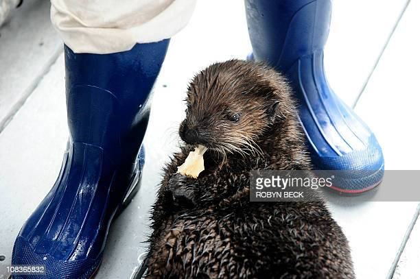 Ollie the fourmonthold sea otter eats clam meat at the Aquarium of the Pacific January 19 2011 The aquarium has taken in the orphaned sea otter but...