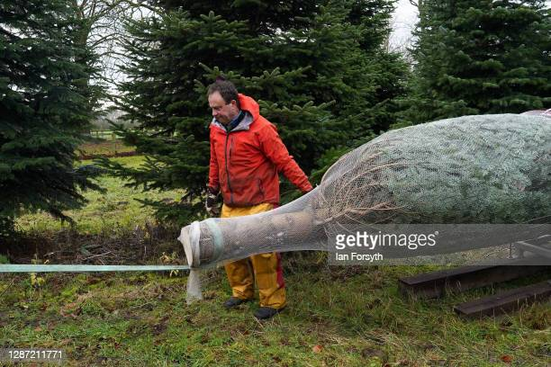 Olly Combe owner of York Christmas covers a 20 foot Nordmann Fir tree in netting as it is felled to be sent to stand outside 10 Downing Street during...