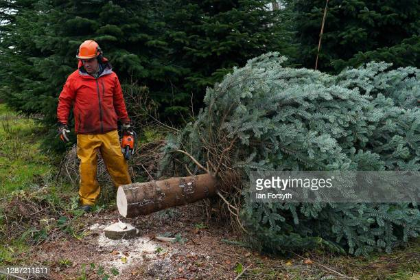 Olly Combe, owner of York Christmas Trees fells a 20 foot Nordmann Fir tree to be sent to stand outside 10 Downing Street during the festive period...