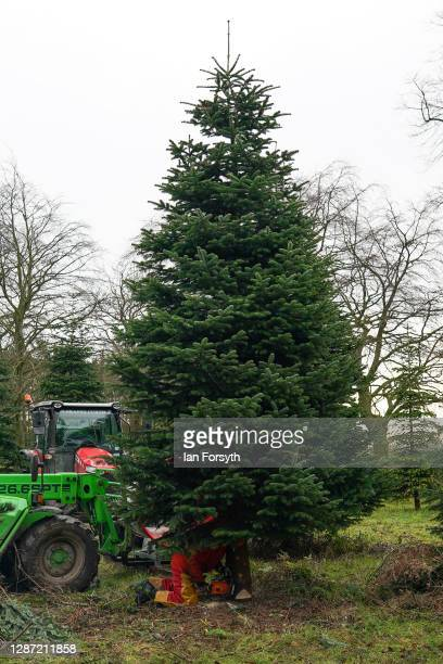 Olly Combe owner of York Christmas Trees fells a 20 foot Nordmann Fir tree to be sent to stand outside 10 Downing Street during the festive period on...