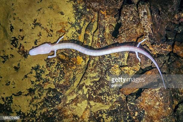 Olm, Proteus anguinus (human fish)