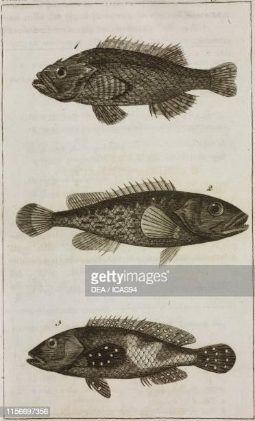 Olocentro percia , 2) Olocentro tavin, 3) Olocentro punti azzurri, fishes, engraving by Giovanni Antonio Sasso, from Le opere di Buffon , by...