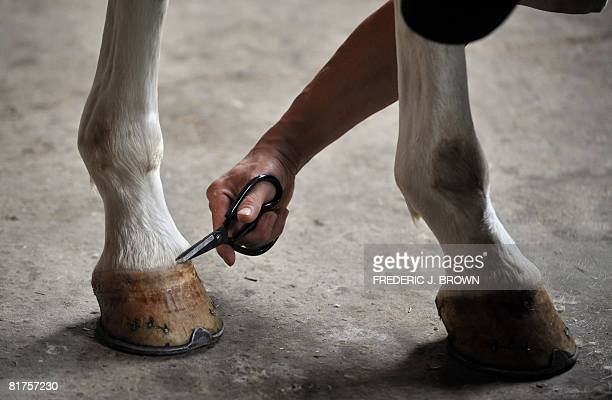 """Oly-2008-CHN-equestrian"""" by Fancois Bougon A stable worker trims around the hoof of Meerles the pony at an equestrian club in Shunyi, on the..."""