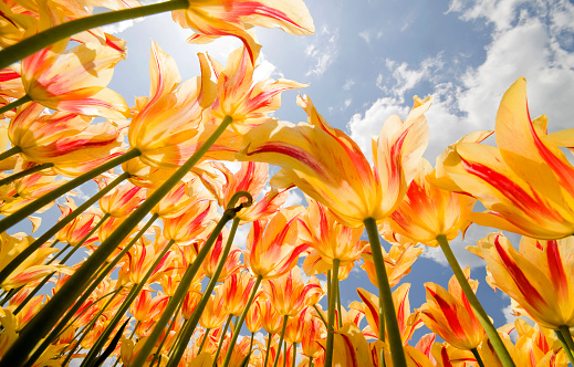 Olympic Flame Tulips 108198334
