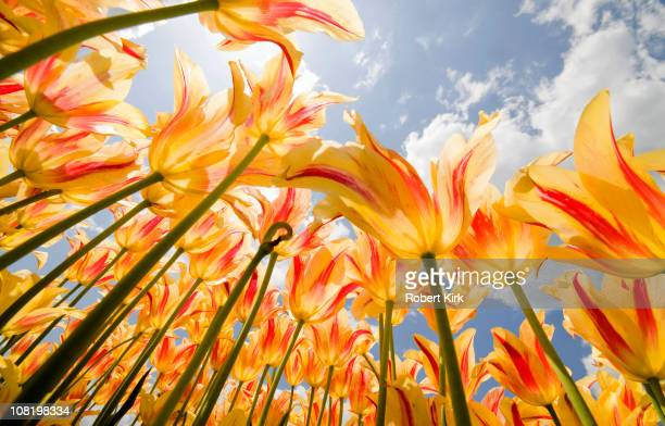 Olympic Flame Tulips