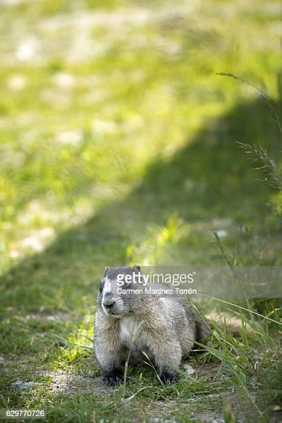 olympic marmot, marmota olympus, british columbia, canada. - marmota imagens e fotografias de stock
