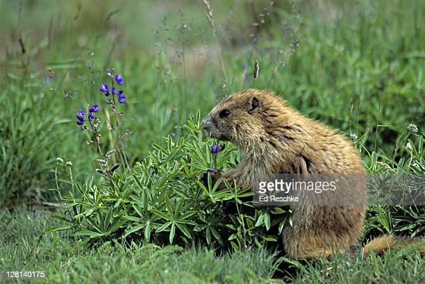 olympic marmot, marmota olympus, eating lupine, olympic national park, washington, usa. endemic to olympic peninusula - marmota imagens e fotografias de stock