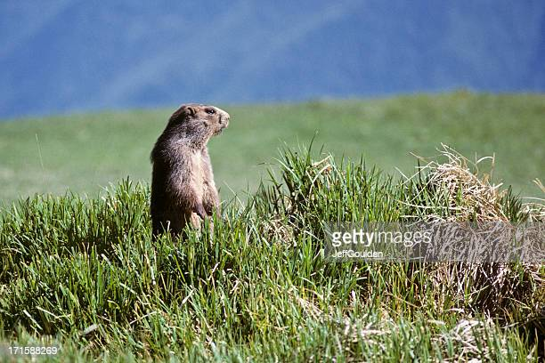 olympic marmot - woodchuck stock pictures, royalty-free photos & images