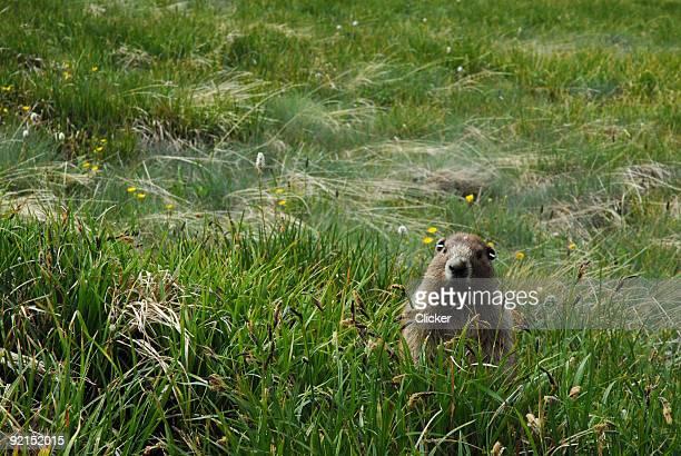 parque nacional de olympic-marmota - marmota imagens e fotografias de stock