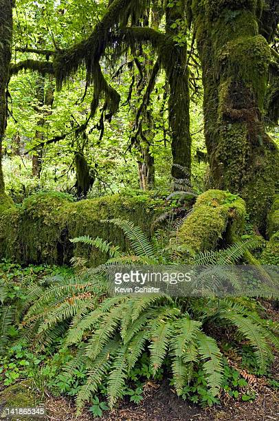 Olympic National Park, Washington. Temperate Rainforest. Hoh River Valley, Hall of Mosses; Sword ferns below Big Leaf Maples (Acer macrophyllum)