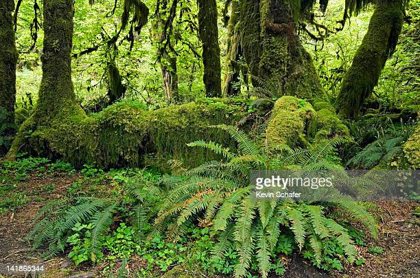Olympic National Park, Washington. Temperate Rainforest. Hoh River Valley. Sword ferns and Nurse Log. Fallen tree supports new growth