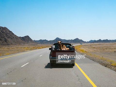 Oman, Sinaw, dromedary on pick-up truck