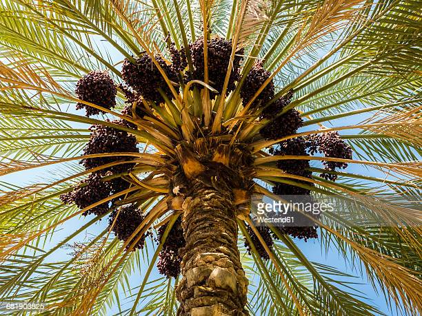 oman, view to date palm from below - date palm tree stock pictures, royalty-free photos & images