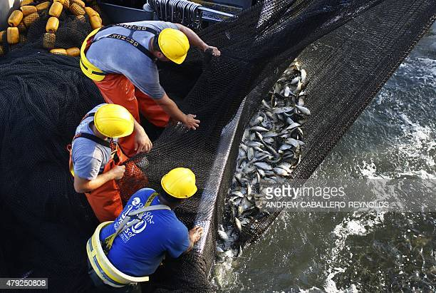 Omega Protein fisherman Anthony Hodges Justin Cammarata and Dalton Keyser riding in a purse boat pull on a net filled with Menhaden fish as they...