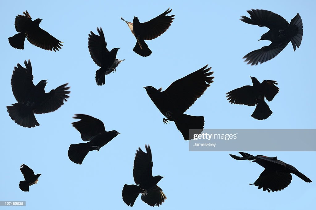 Ominous Black Birds Silhouetted on Blue Sky; Redwing Blackbirds : Stock Photo