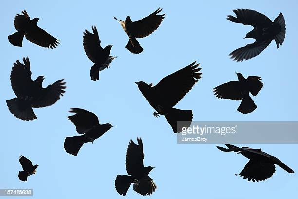 ominous black birds silhouetted on blue sky; redwing blackbirds - ravens stock photos and pictures