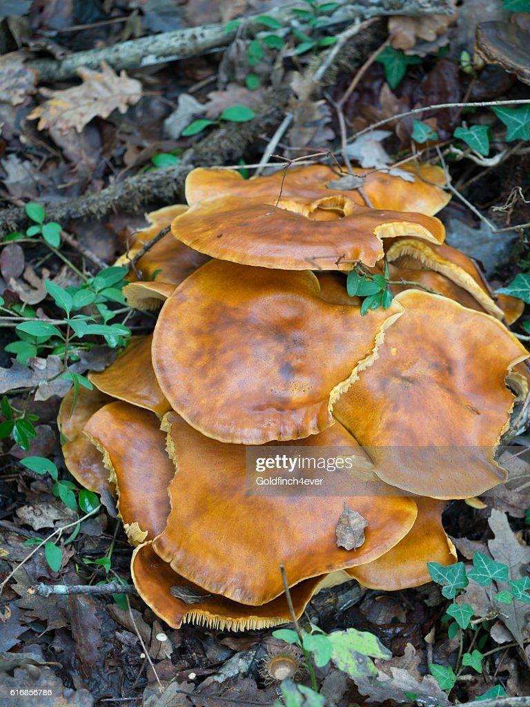 Omphalotus olearius aka Jack o'lantern mushroom. Vertical composition. : Stock Photo