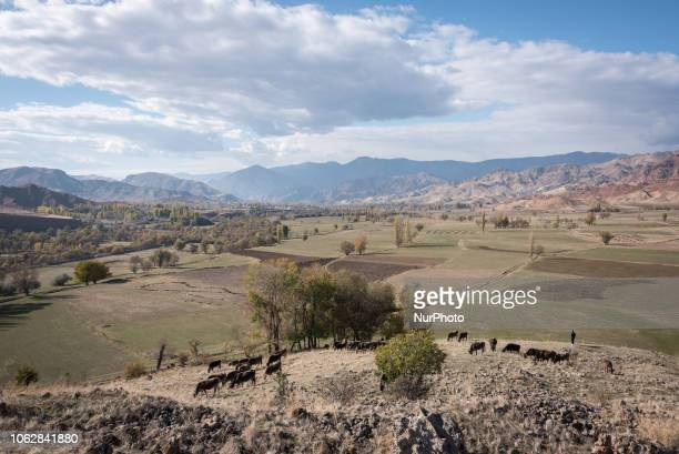 On 12 November 2018 a shepherd grazes his cows and cattle in the dry mountain landscape near Penek in the Erzurum province of the northeastern part...