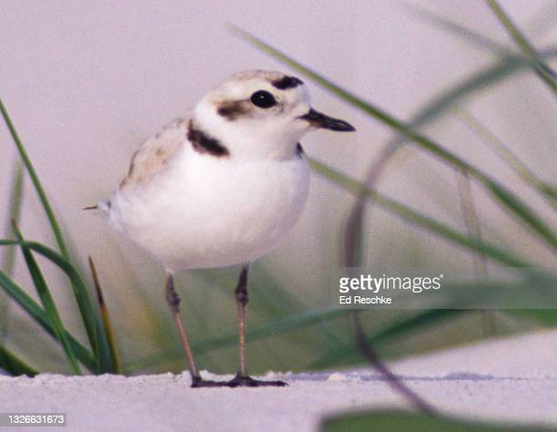 snowy plover (charadrius alexandrinus) on a gulf coast beach - kentish plover stock pictures, royalty-free photos & images