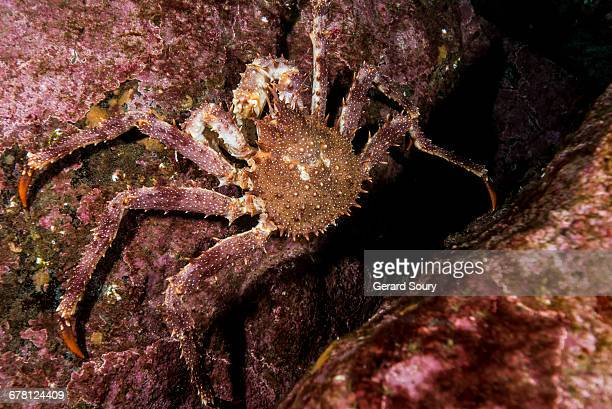 NORWAY KING CRAB on a rock