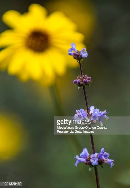 On a spring day Munz's sage and California encelia background bloom at the Environmental Nature Center in Newport Beach on April 3 2018