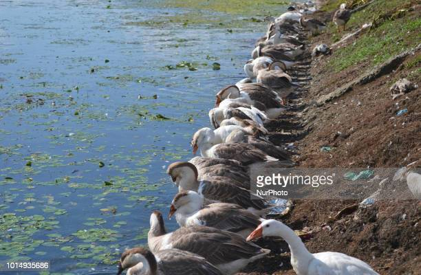 On a sunny day a gaggle of geese rests on the banks of Dal lake in Srinagar the summer capital of Indian administered Kashmir India on 9 August 2018