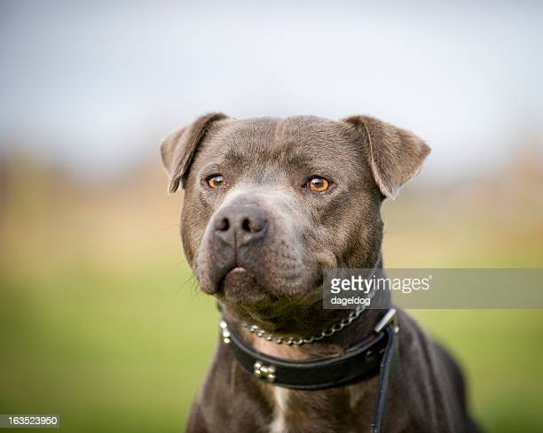 on guard! - staffordshire bull terrier stock pictures, royalty-free photos & images
