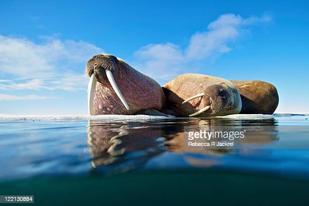 on ice - walrus stock photos and pictures