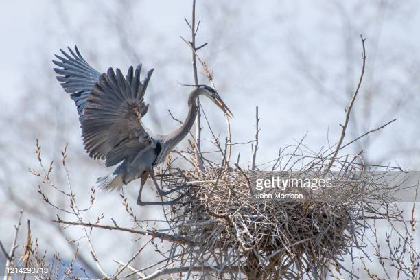 on nest edge, great blue heron involved in spring activates of nest building and mating - rookery building stock pictures, royalty-free photos & images