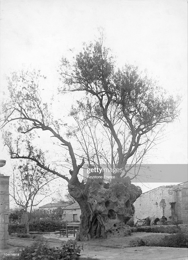 Plato'S Olive Tree In Athens Is 2500 Years Old In 1930 : News Photo