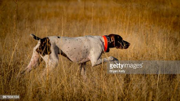 on point - pointer dog stock pictures, royalty-free photos & images
