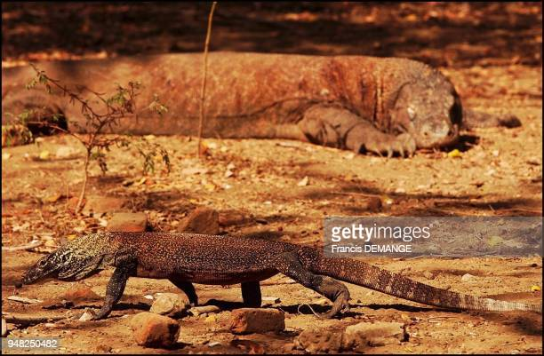 On Rinca Island one of the 30 odd islets of the Komodo National Park young varans often fall prey to older dragons