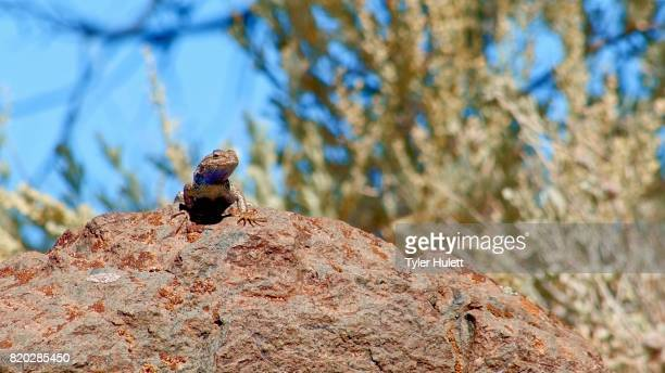 on rock sagebrush lizard steens mountain near malhuer wildlife refuge 5 - steens mountain stock pictures, royalty-free photos & images