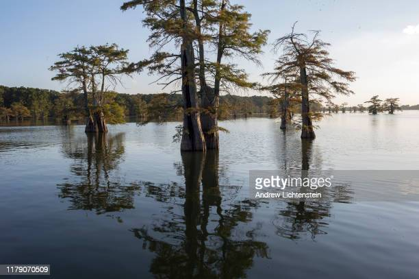 On the 100 year anniversary of the Elaine racial massacre cypress trees grow in the swamp lands on September 29 2019 outside of Elaine Arkansas In...