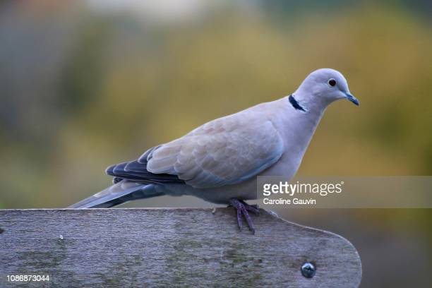 on the bench - turtle doves stock photos and pictures