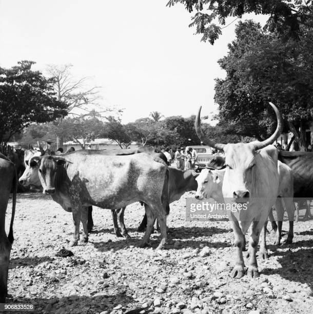 On the cattle market Colombia 1960s