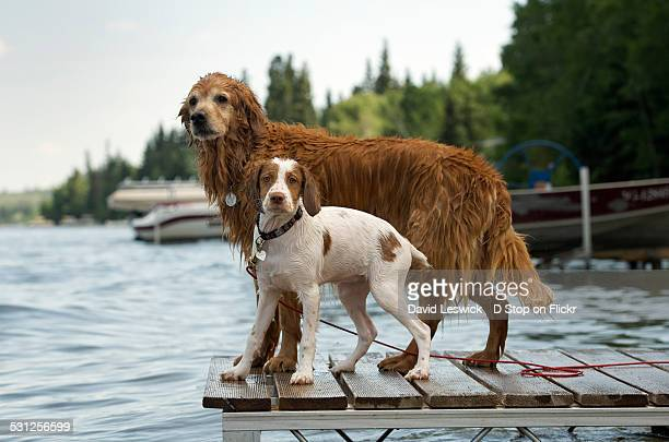 on the dock - brittany spaniel stock pictures, royalty-free photos & images