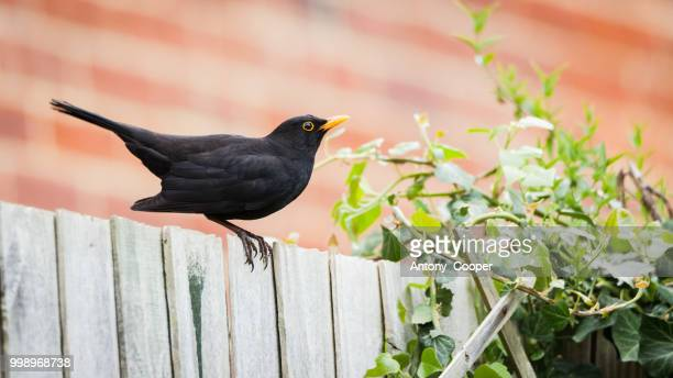 on the fence - blackbird stock pictures, royalty-free photos & images