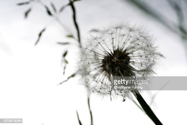 On the fifth anniversary of the the murder of Jo Cox, a dandelion seed head sways in the breeze in the Jo Cox Community Wood which was created in...