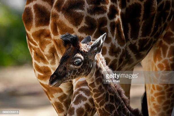 On the first day Friday morning out for public viewing female giraffe calf named SOFIE stays closed to her mother at Los Angeles Zoo The calf...