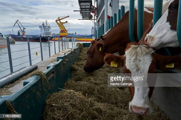 On the floating farm cows eat as ships pass by Floating Farm is a project that seeks the production of healthy food within cities on October 3 2019...