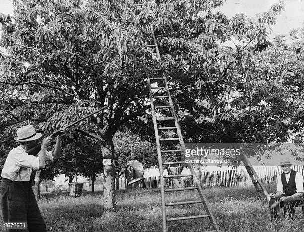 On the right, 82 year old Walter Hope bangs a dustbin lid to scare birds eating the cherries in the fruit laden trees while on the left his 72 year...