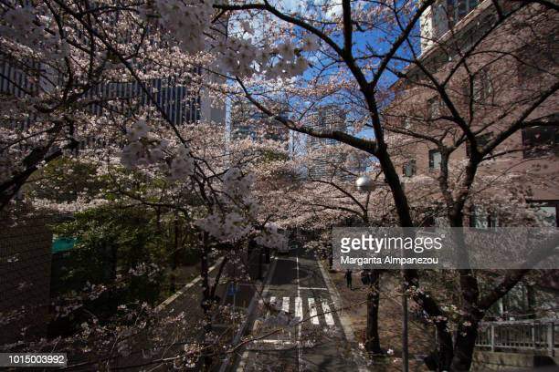On the Road: Cherry blossomed trees over a 2-lane road in Tokyo