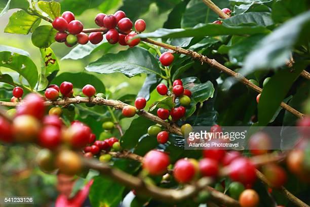 on the road to monteverde, coffee plantation during the harvest. - café colheita imagens e fotografias de stock
