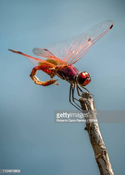 on the stick - mayfly stock pictures, royalty-free photos & images