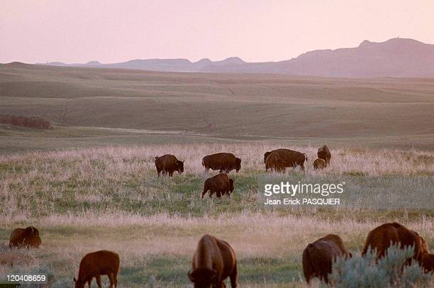 On the tracks of Lewis and Clark in United States in 1997 Bisons in the Roosevelt Park North Dakota